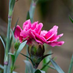 Carnation in bloom